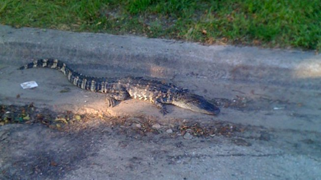 4-Foot Long Alligator Removed from Bryan Street