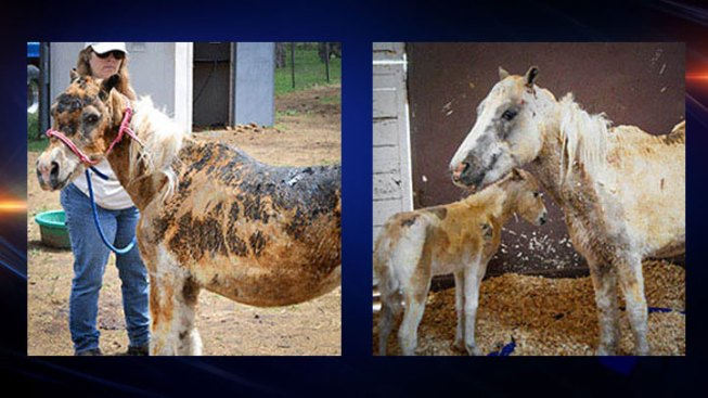 Donations Sought for Care of Burned Pony, Foal