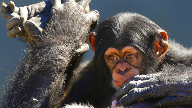 Virginia Man Sends 6 Chimps to Houston Zoo