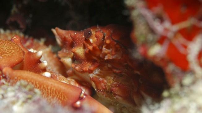 Baby Crabs Invade Cayman Islands