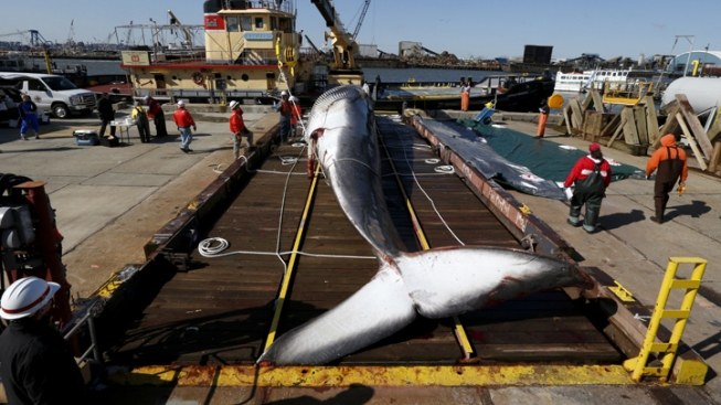 Whale Found Dead on Bow of Ship Examined