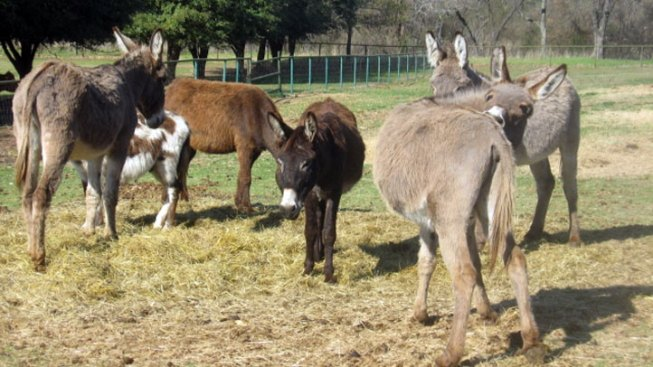 County Adopting Out Donkeys for $25