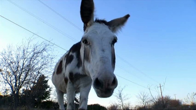 Texas Man Gets Five Years for Dragging Donkey