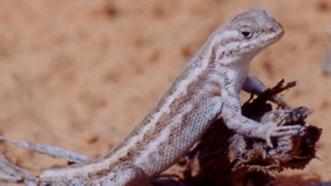 Conservation Efforts Help Avoid Lizard's Endangered Listing