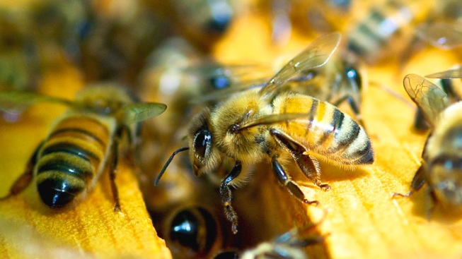Central Texas Man Dies After Bee Attack