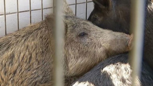 Feral Hog Contest Brings Demise of 12,632