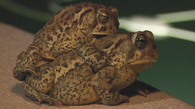 Mutated Toads or Just Amplexus?