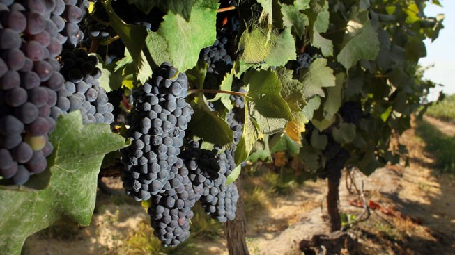 Drought Hurts Yield, Helps Quality of Texas Grapes