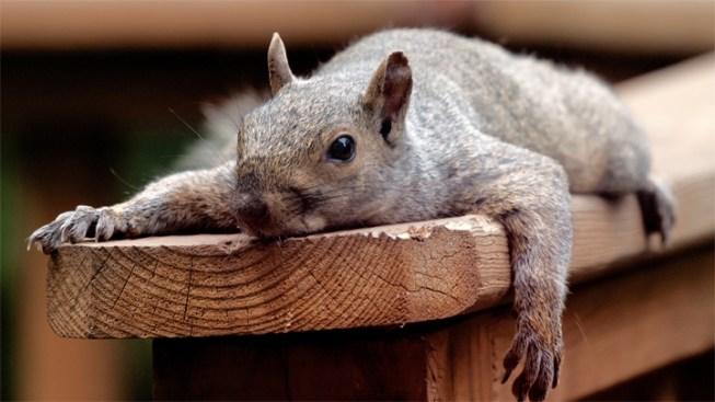 Squirrels! Critters Destroy Lights Along River Walk