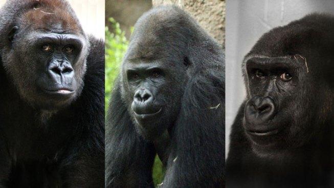 Gorilla Mates Arrive in Dallas