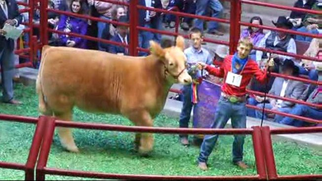 Grand Champion Steer Sold for $230,000