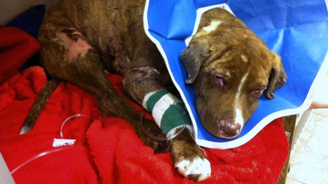 Puppy Doused With Lighter Fluid Suffers Setback