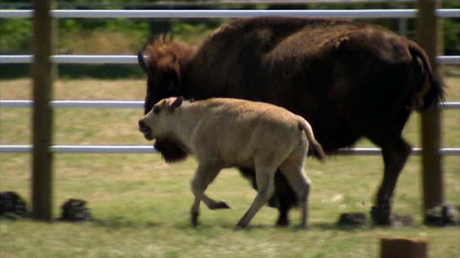 New Details in the Death of Rare White Buffalo
