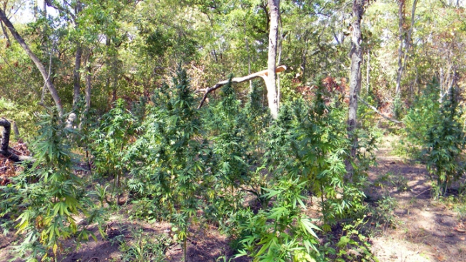Marijuana Field Found in Navarro County
