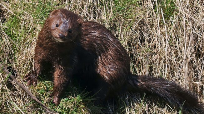 Texan Jailed for Trying to Release Minks