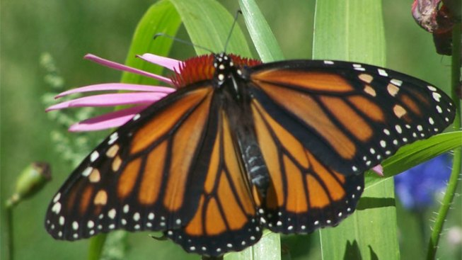 Drought May Be Affecting Monarch Migration
