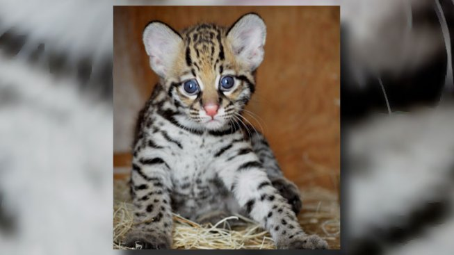 Dallas Zoo's Ocelot Kitten Explores Her New Home