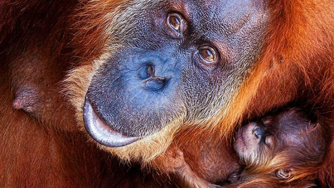 FW Zoo's Baby Orangutan Exploring Atlanta Zoo