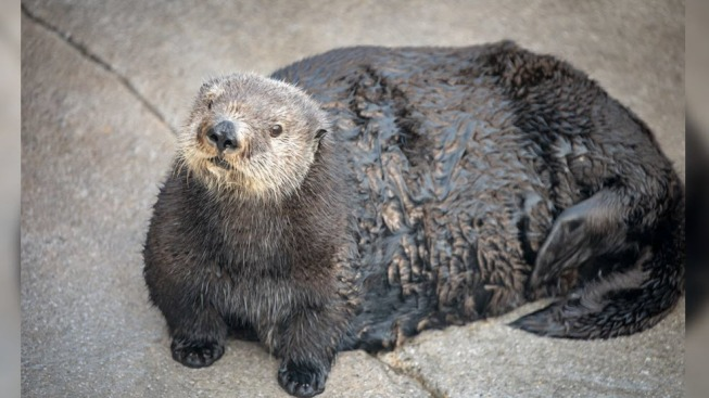 Monterey Bay Aquarium Under Fire for Calling Otter 'Thicc'
