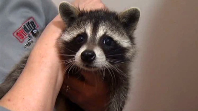Distemper Continues to Sicken Raccoons in Dallas, Collin Counties