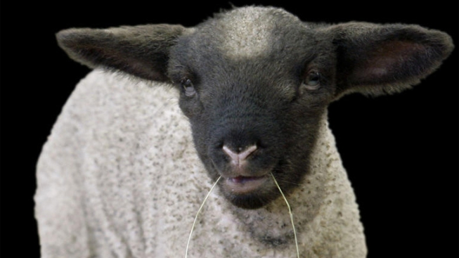 More Than $7K Reward Offered for Tips on Mutilated Sheep