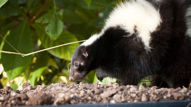 Two Confirmed Rabid Skunks in Grapevine