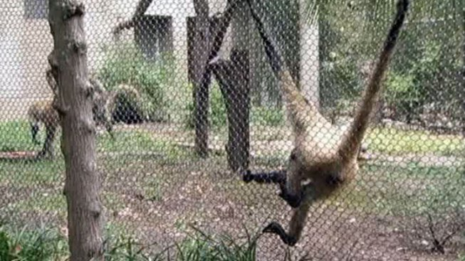 Spider Monkey Captured After Brief Escape