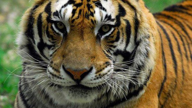 Seventh Big Cat Dies at Wylie Sanctuary