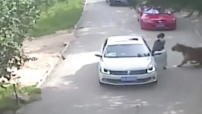 Tiger Mauls Woman to Death at Drive-Through Wildlife Park in China