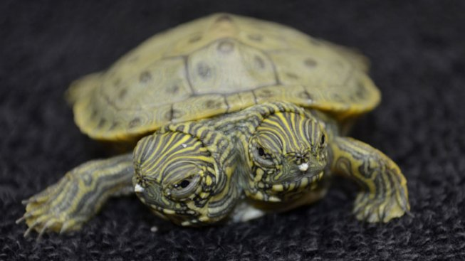 Famed Two-Headed Turtle Dies at San Antonio Zoo