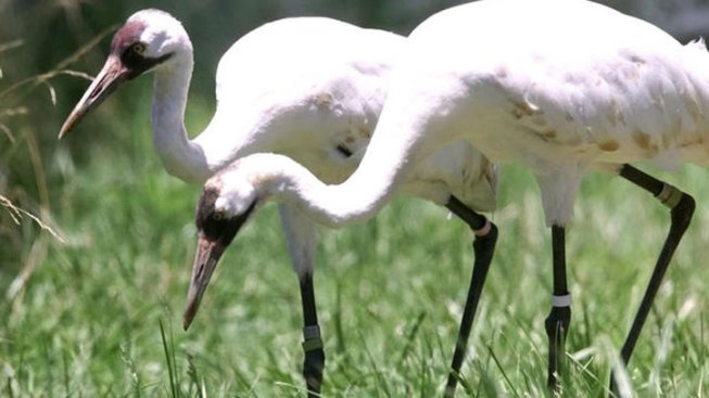 Texas Whooping Cranes Survive Drought, Numbers Up