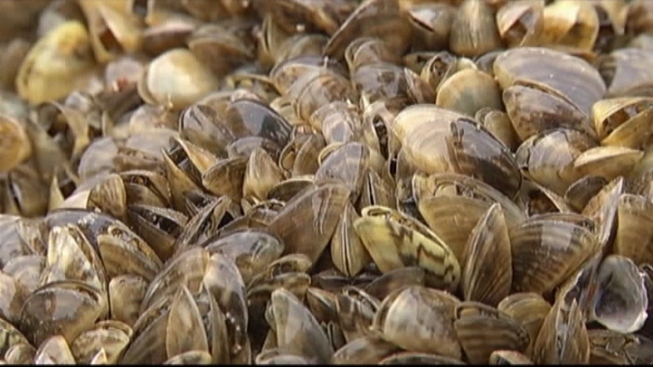 Texas Officials Try to Slow Zebra Mussel Migration