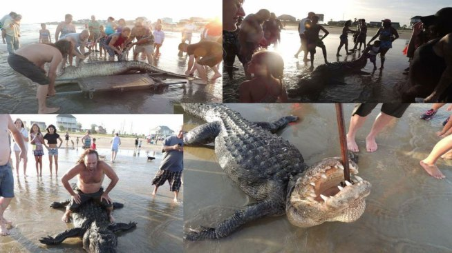 13 Foot Alligator Washes Up On Texas Beach Likely Drowned