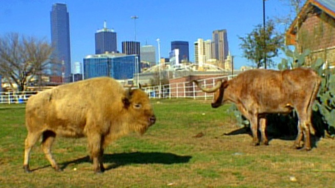 You can now see a rare white buffalo among the native Texas plants and animals at a downtown Dallas landmark.