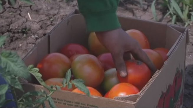 Farmers in Denton County say the mild winter and recent rainfall have produced plentiful crops this year.