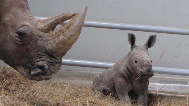 New baby rhino born at Fossil Rim Wildlife Center