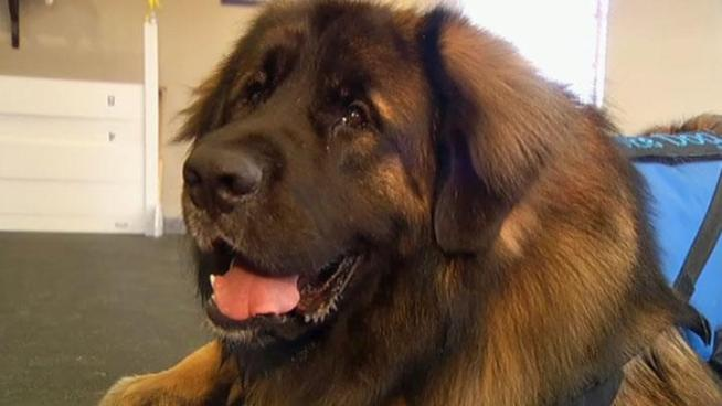 Grand Champion Kalahari's Call to Attention (also known as Patton) a Leonberger from Plano has been invited to the Westminster Dog Show at Madison Square Garden, but that's not what makes Patton special.