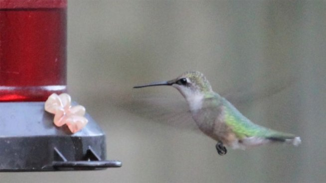 Migrating Hummingbirds Need Help in Texas Drought