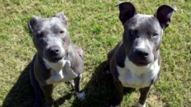 A North Fort Worth woman whose dogs were seized by the city says they are not dangerous and that her neighbors are targeting her because she is Muslim. Her neighbors say the dogs are aggressive and have gotten out several times.