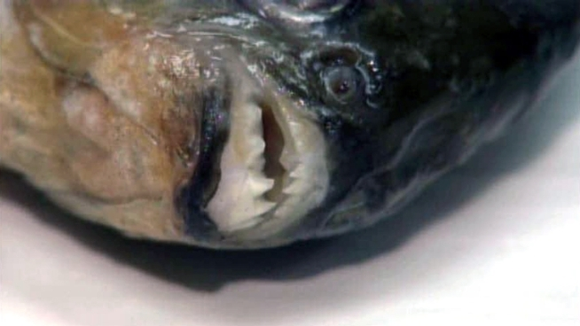 A flesh-eating piranha native to South America popped up in a Texas lake late last month.