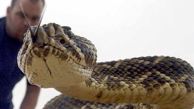 Worth the Drive: Rattlesnake Roundup