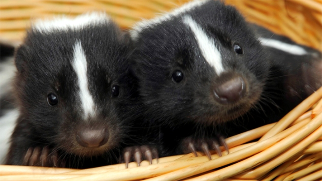 A couple works with Florida Skunk Rescue to find new homes for skunks raised as pets.