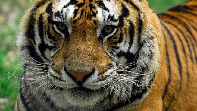 Eighth Big Cat Dies in Wylie