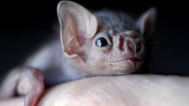 Texas Should Prepare for Vampire Bats