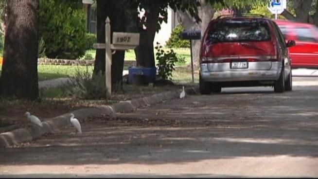 Egrets are wreaking havoc on one Carrollton neighborhood.