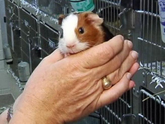Someone abandoned 100 guinea pigs outside the <a title=
