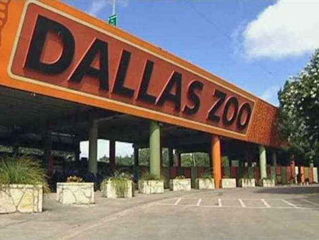 Dallas Zoo Chimp Sedated After Escape