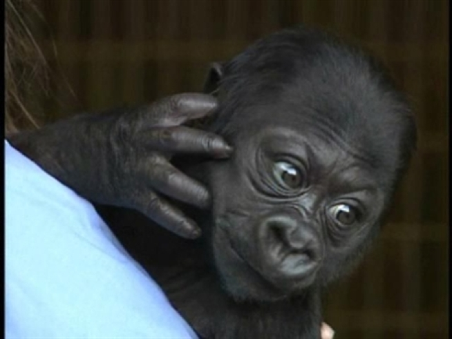 The baby gorilla at the <a title=