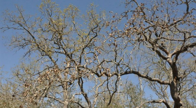 Dallas' New Trees Dying During Watering Debate