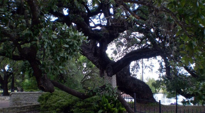 Centuries-Old Texas Tree Honored